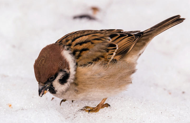 Hungry spring sparrow on white snow royalty free stock photography