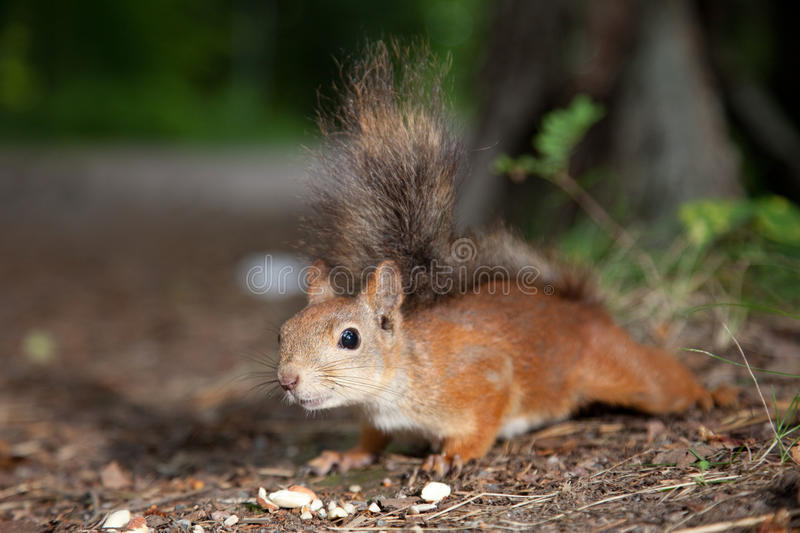 Download Hungry squirrel stock photo. Image of ordinary, acquaintance - 20770754