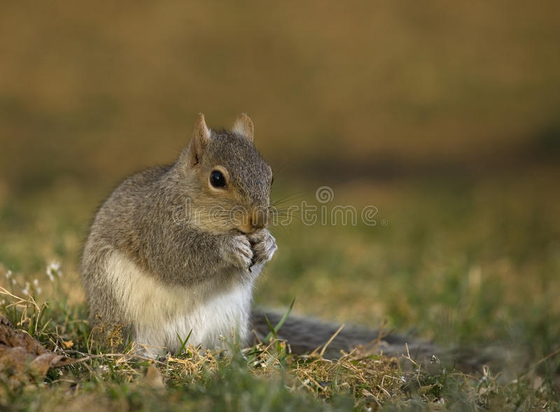 Download Hungry squirrel stock photo. Image of tail, wild, mouth - 26008264