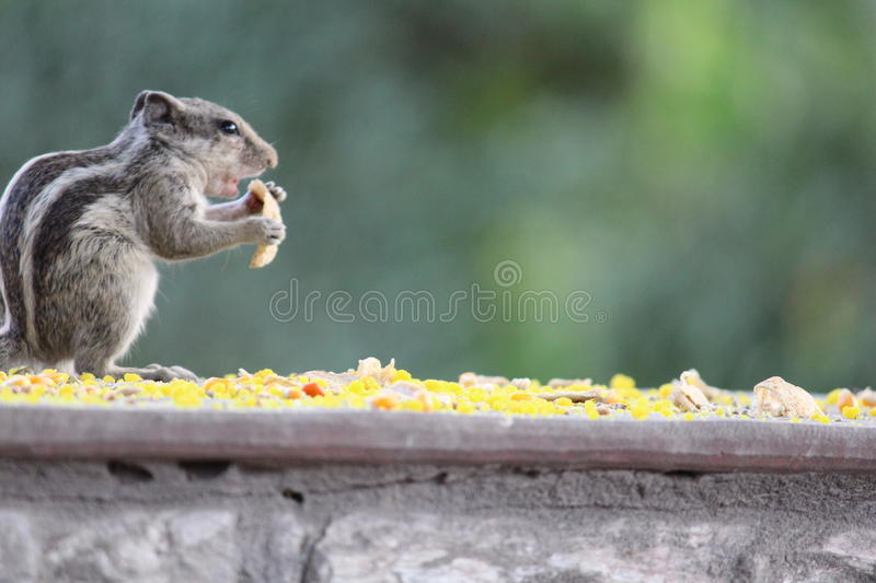 Hungry squirrel. Squirrel cutely having food royalty free stock image