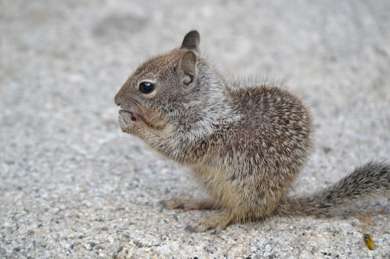 Hungry Squirrel stock photos