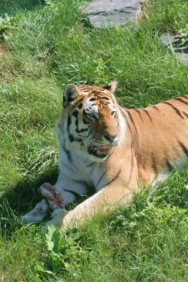 Free Hungry Tiger Stock Image - 1061121