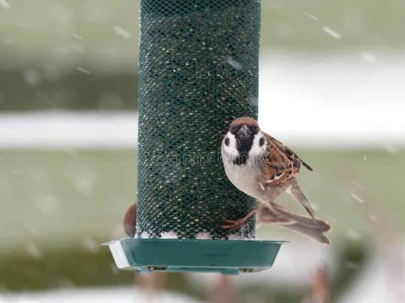 Hungry tree sparrow royalty free stock image