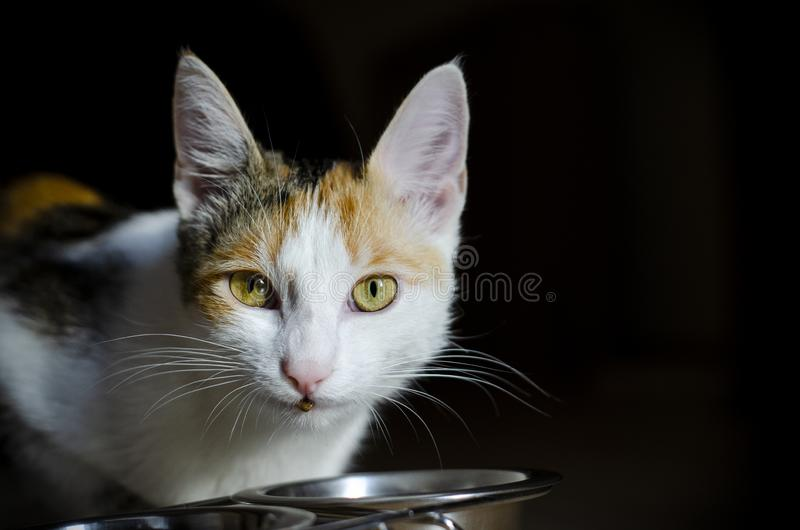 Hungry tricolor cat eat dry food. Healthy. Holistic. Hungry tricolor cat eat dry food. Healthy food. Holistic. Pet care. Close-up royalty free stock images