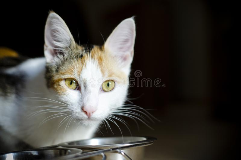 Hungry tricolor cat eat dry food. Healthy. Holistic. Hungry tricolor cat eat dry food. Healthy food. Holistic. Pet care. Close-up royalty free stock photo