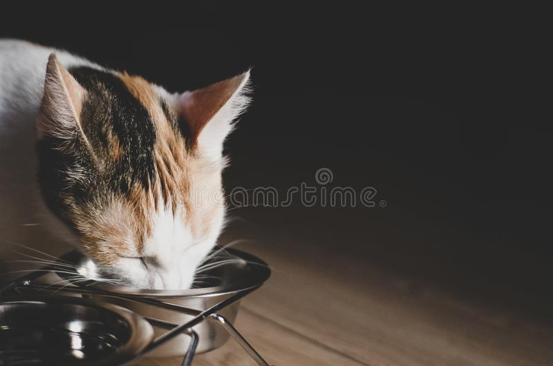 Hungry tricolor cat eat dry food. Healthy. Holistic. Hungry tricolor cat eat dry food. Healthy food. Holistic. Pet care. Close-up royalty free stock photos