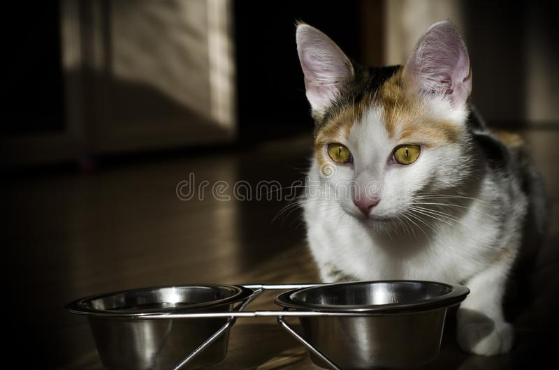 Hungry tricolor cat eat dry food. Healthy. Holistic. Hungry tricolor cat eat dry food. Healthy food. Holistic. Pet care. Close-up stock photography