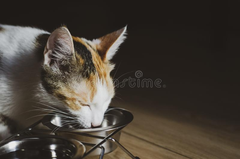 Hungry tricolor cat eat dry food. Healthy. Holistic. Hungry tricolor cat eat dry food. Healthy food. Holistic. Pet care. Close-up royalty free stock photography