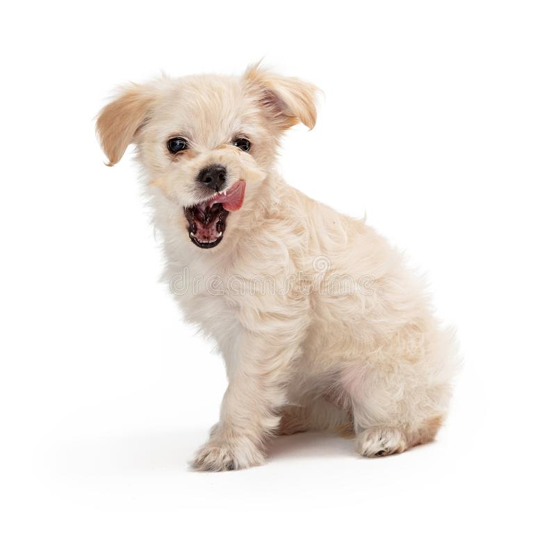 Hungry White Puppy Licking Lips royalty free stock images