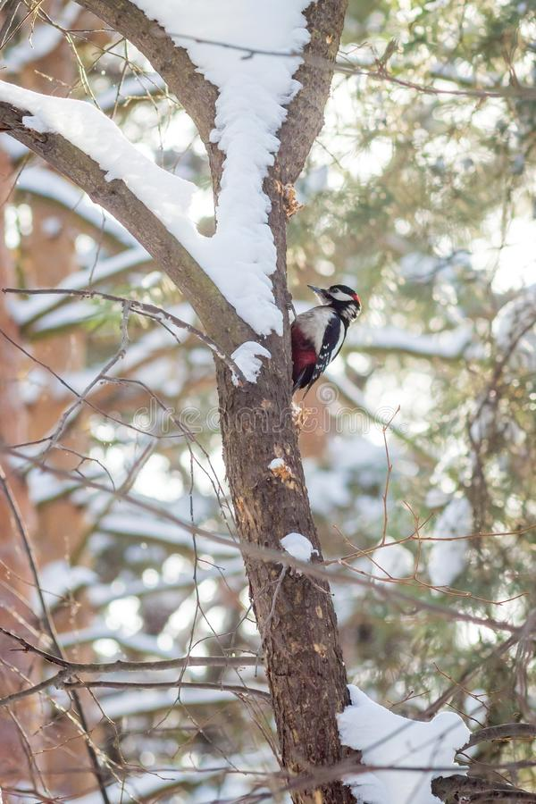 Hungry wild bird woodpecker on a tree. In spring forest stock photography