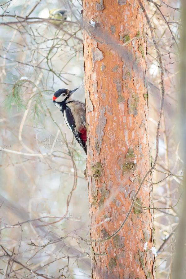Hungry wild bird woodpecker on a tree. In spring forest royalty free stock images