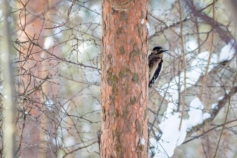Hungry wild bird woodpecker on a tree. In spring forest stock photos