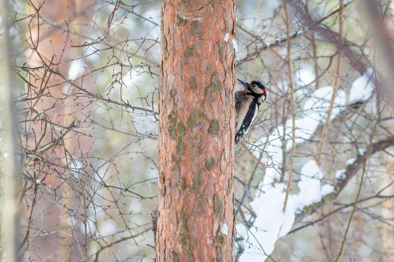 Hungry wild bird woodpecker on a tree. In spring forest stock image