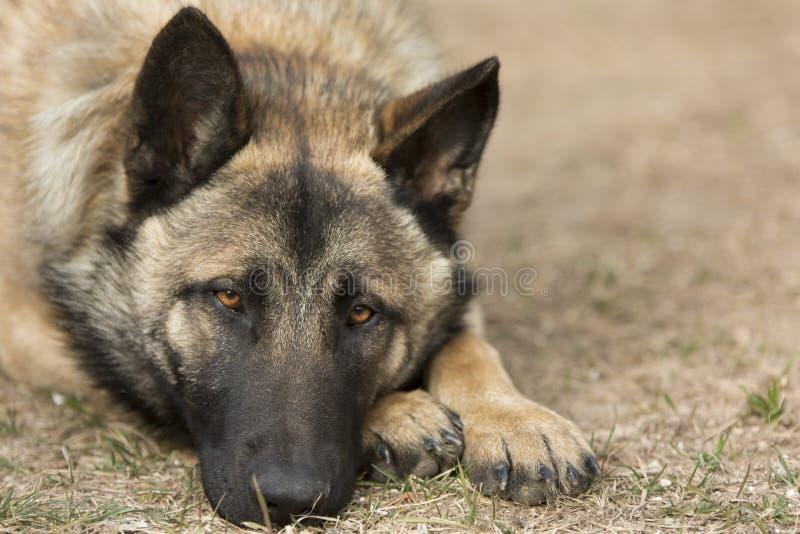 Hunkerende Hond stock afbeelding