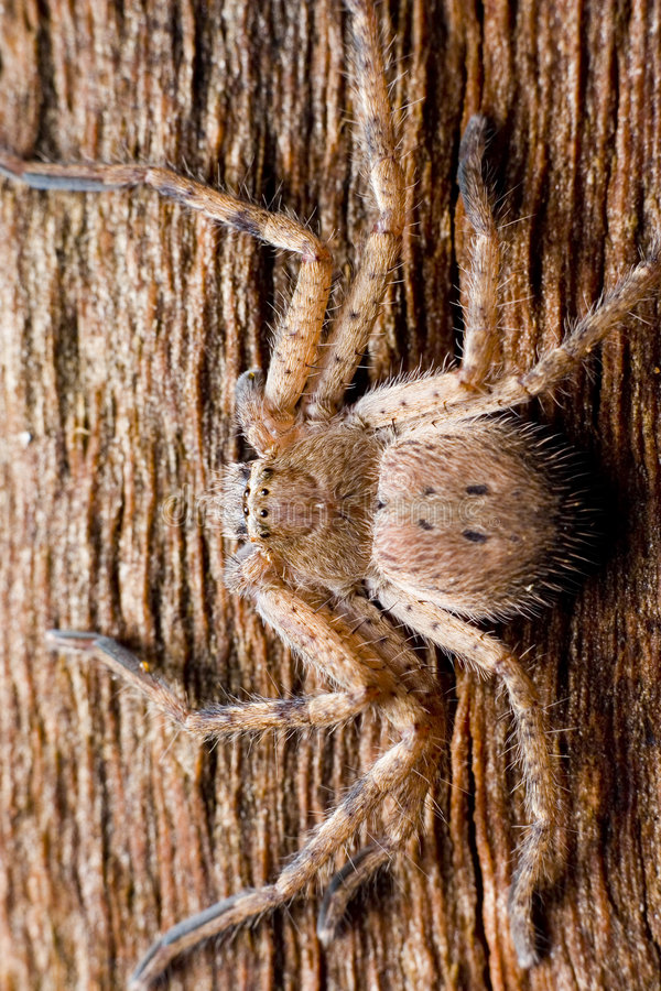 hunsman αράχνη στοκ εικόνα