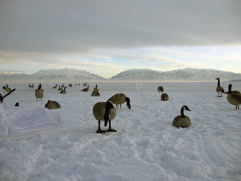 hunt гусыни Канады стоковая фотография