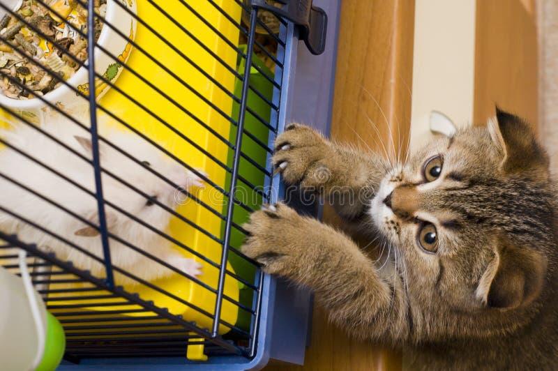 hunt chomikowa kociak trochę zdjęcie royalty free