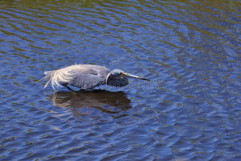 hunt heron niebieski ?wietnie fotografia stock