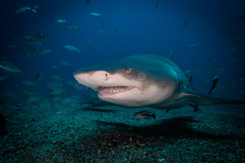 On the Hunt. A Lemon shark on the hunt for it's next meal stock photos
