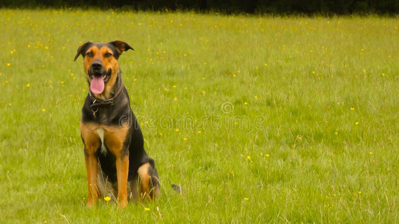 Huntaway dog in training a beautiful day for training outdoors royalty free stock photo