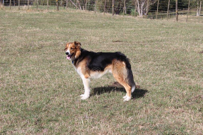 Huntaway-Hund stockfoto