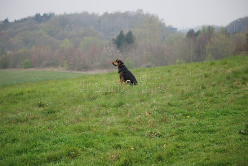 Huntaway-Hund 5, der eine gute Zeit in einer englischen Wiese hat stockbilder