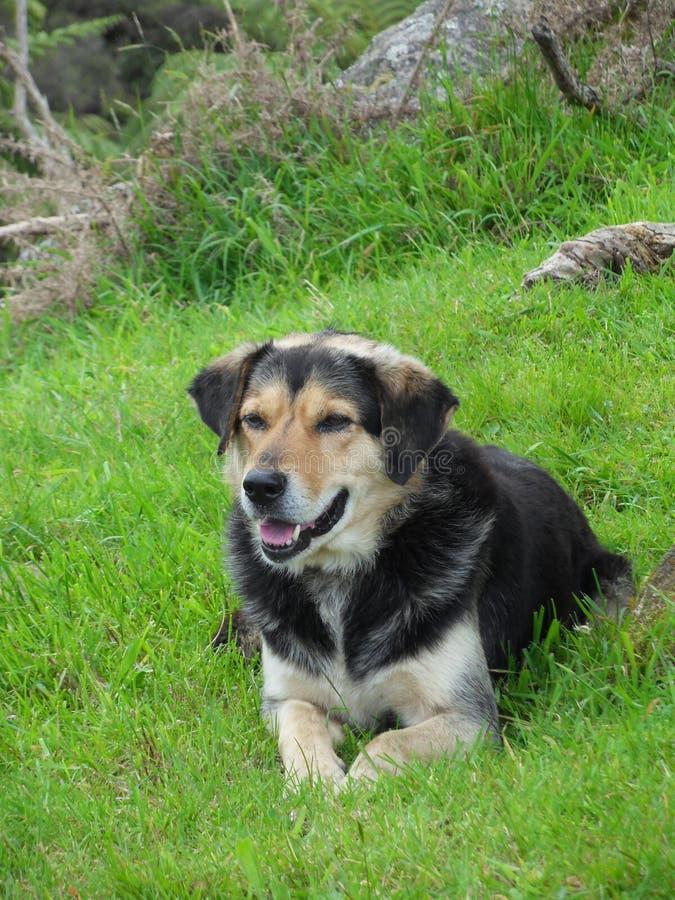 Huntaway-Kreuz-Hund stockfoto