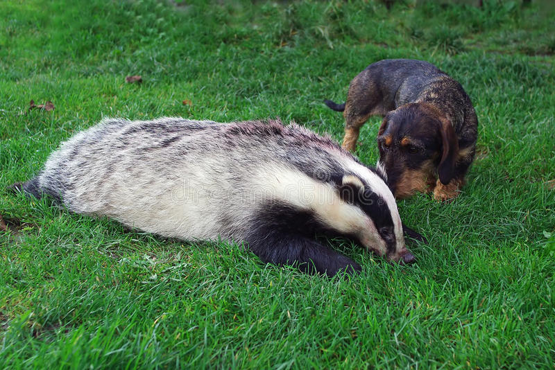 Hunter.Dachshund with a badger. stock images