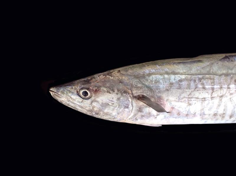Hunter fish. Giant scomber head fish closeup,big game fishing royalty free stock photo