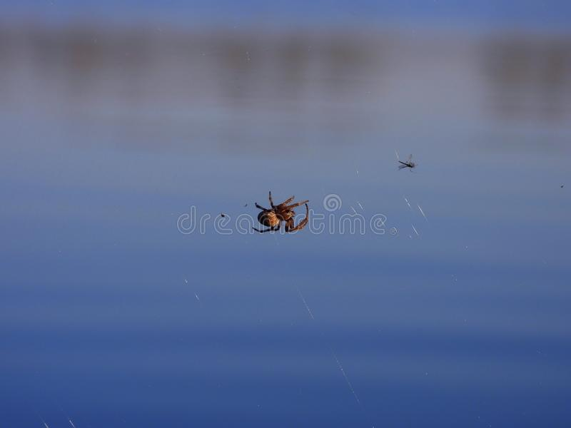 Hunter with his prey. Unidentified spider with it´s web on the shore pond behind him during the golden hour with fly captured in it´s web stock photos
