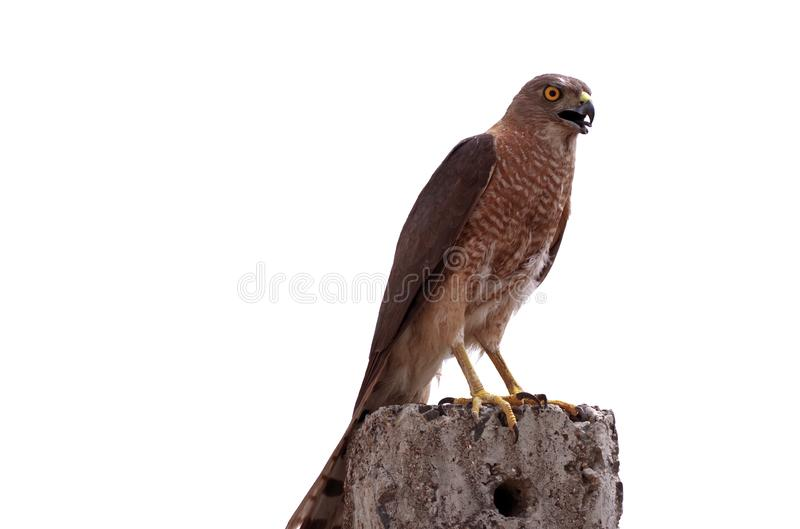Hunter Prepared. Accipiter Badius, a bird of prey prepared for attack on prey, it is a common raptor in India known as Shikra Baaz stock photography