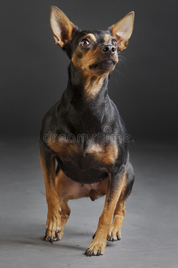 Hunter rat dog. Jumping in studio royalty free stock photos