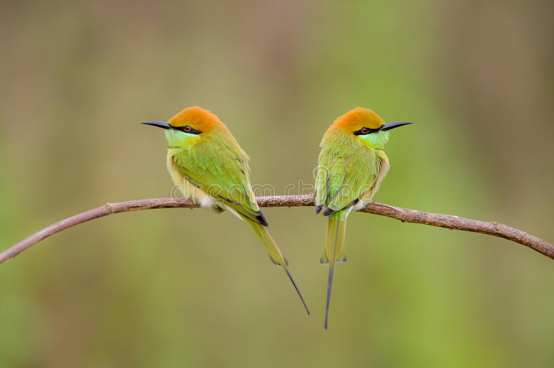 Hunters comely. Birds Name Green Bee - eater stock photography