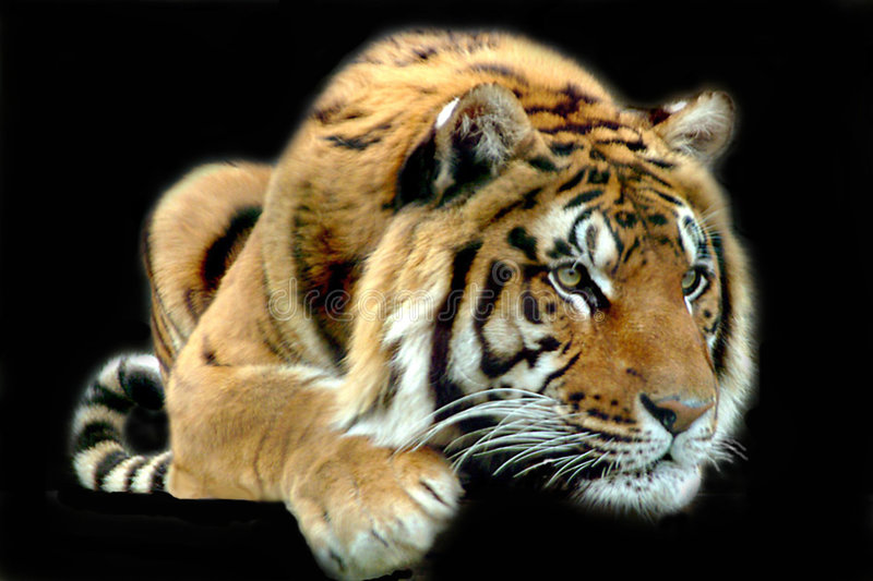 Download The Hunters Glare stock photo. Image of bengal, powerful - 11584