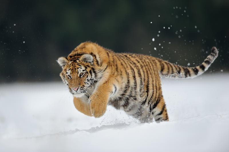 Tiger jumping on snow royalty free stock photo