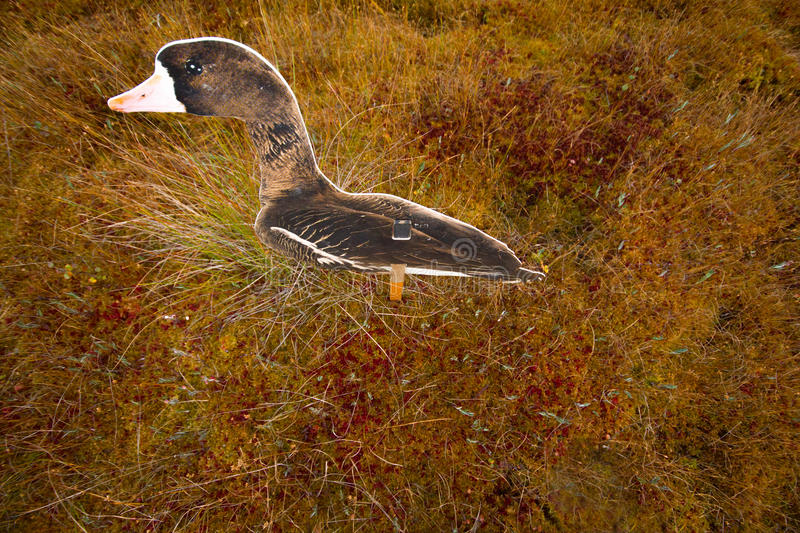 Download Hunting On A Bog  With Goose Profile Stock Photo - Image of swamp, feathers: 39523280