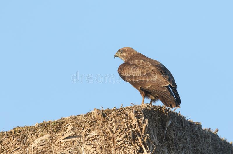 A hunting Buzzard, Buteo buteo, perching on top of stacked straw bales on farmland. A magnificent hunting Buzzard, Buteo buteo, perching on top of stacked stock photography