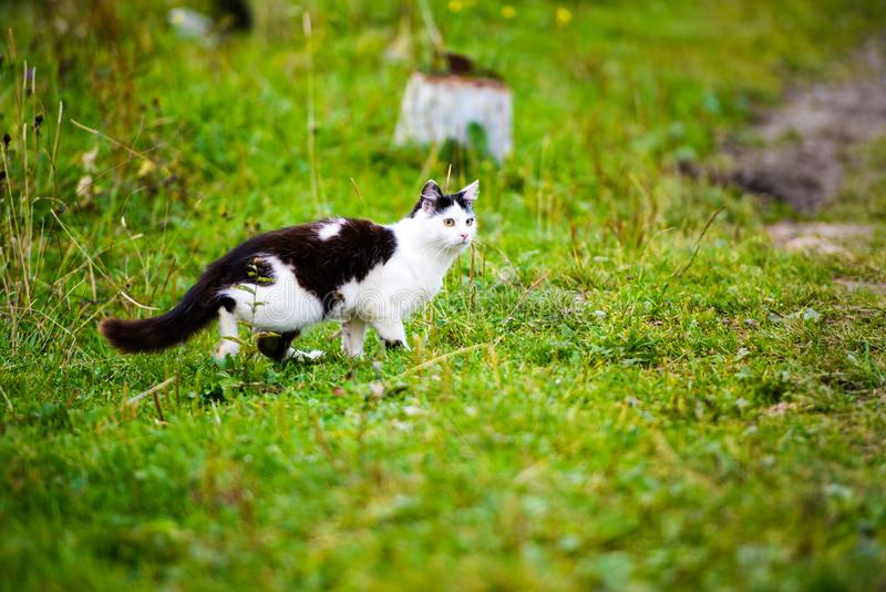 hunting cat jumping through grass royalty free stock photography