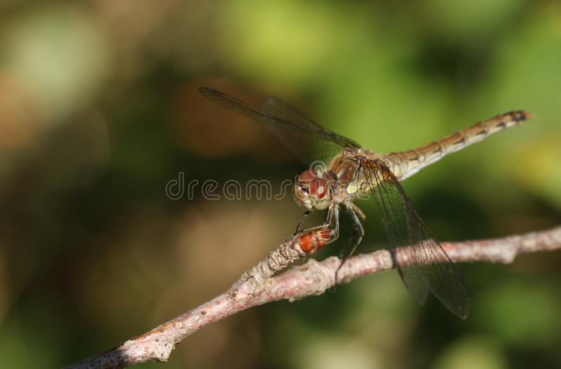 A hunting Common Darter Dragonfly Sympetrum striolatum perched on a twig at the edge of woodland. stock photos