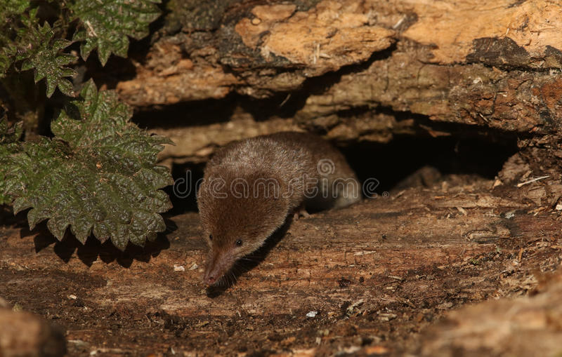 A hunting Common Shrew Sorex araneus. A hunting Common Shrew Sorex araneus searching for food in an old log pile. The shrew`s carnivorous and insectivorous diet stock photo