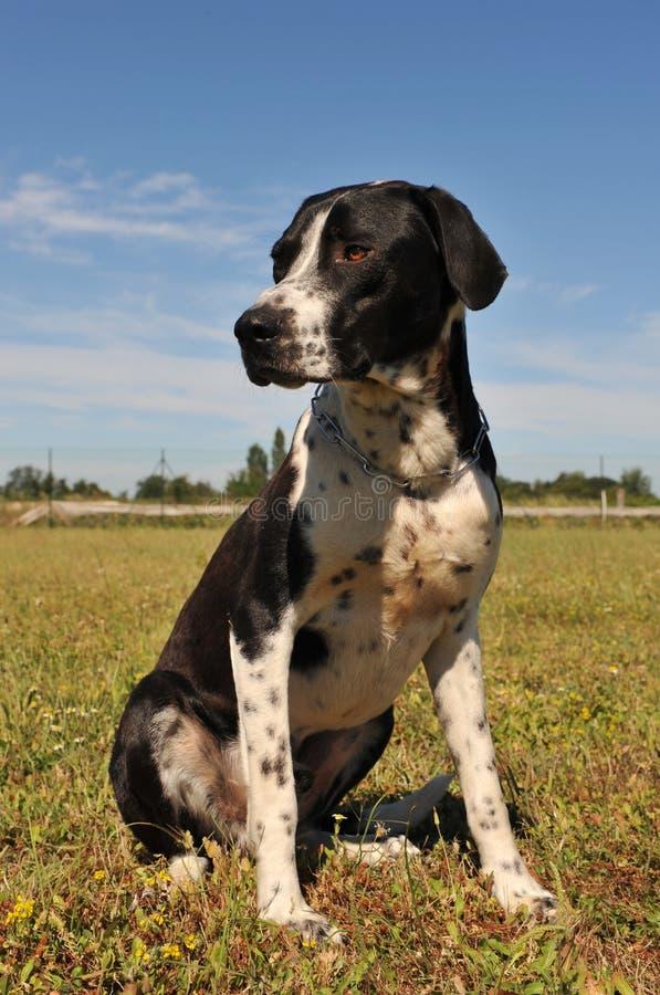 Download Hunting dog stock image. Image of pointer, canine, alertness - 10357417