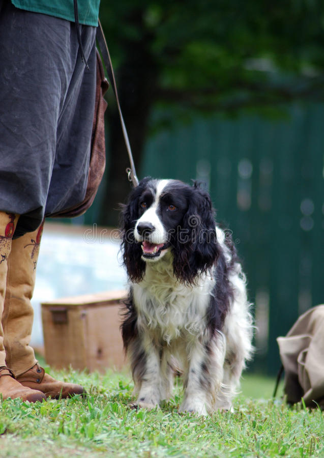 Hunting Dog. Black and white English Springer Spaniel stands ready for the hunt at owner's feet which are clad in traditional leather boots royalty free stock image