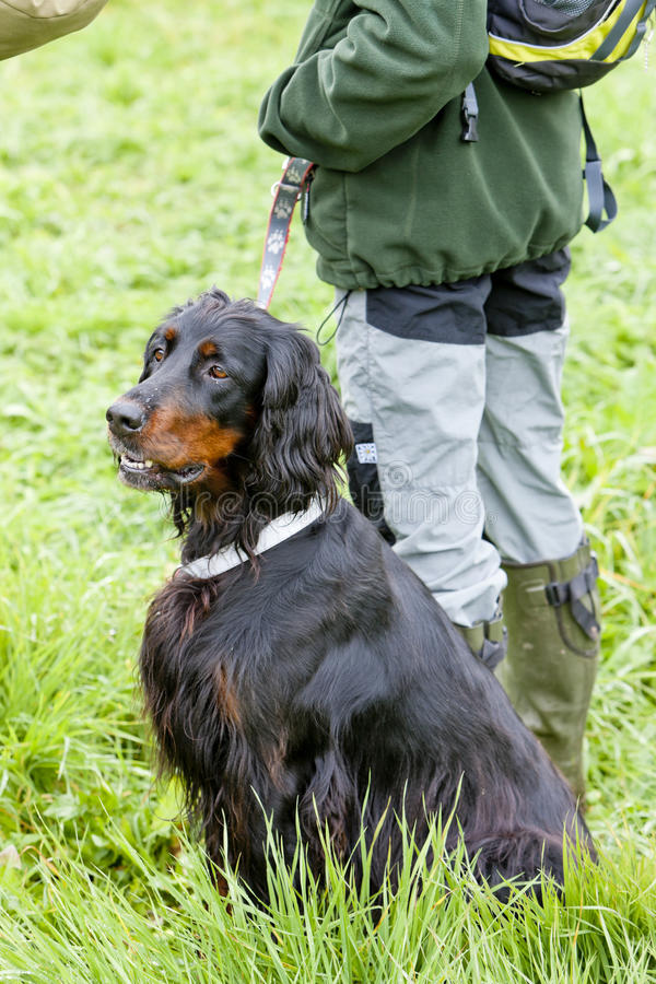Download Hunting dog stock photo. Image of keeping, person, domestic - 20933578