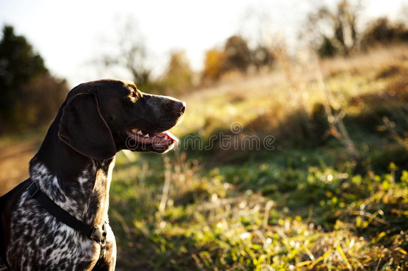 Hunting dog royalty free stock images