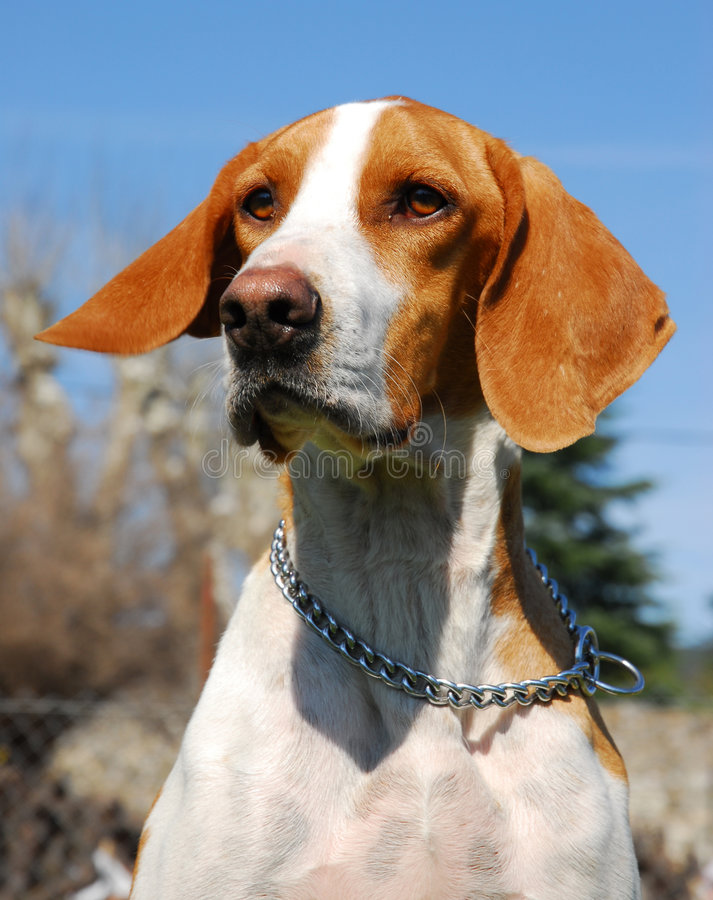 Free Hunting Dog Royalty Free Stock Images - 2209099