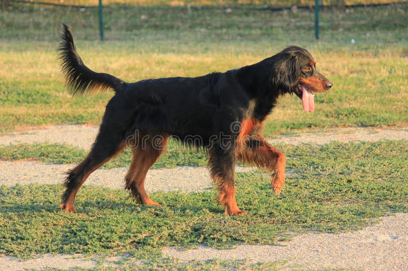 Download HUNTING DOG stock photo. Image of hunting, waiting, tail - 24240170