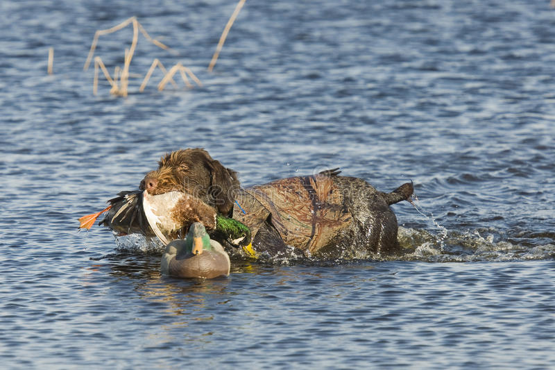 Hunting Dog. With a duck in the decoys stock photos