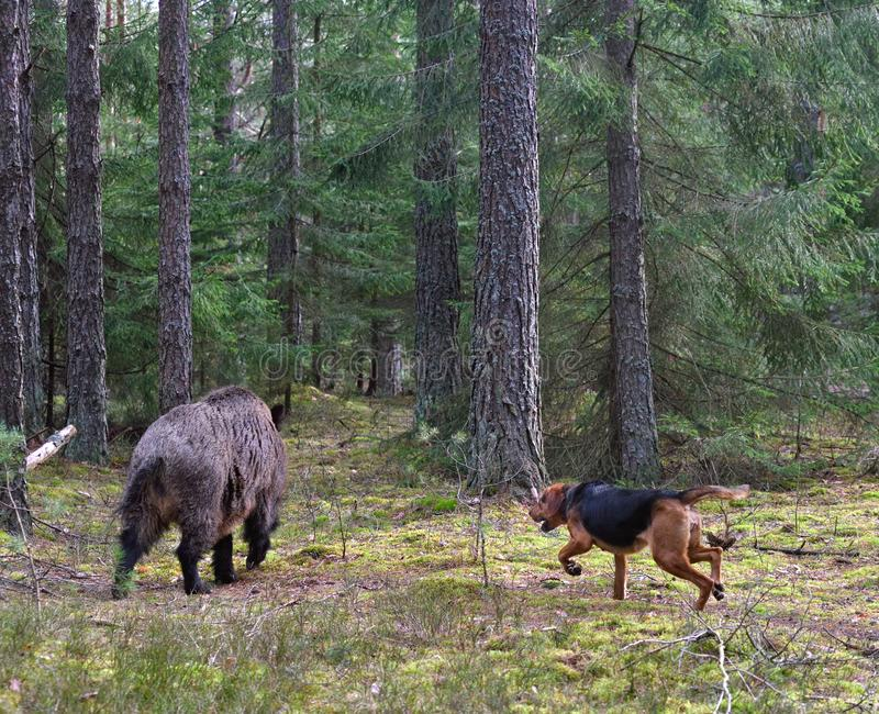 Hunting dog attack wild boar. Belarusian Gonchak hound, a National dog breed of Belarus, attack a wild boar in green forest stock photos