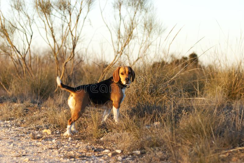 Hunting dog, of the beagle breed in the field at sunset royalty free stock photo