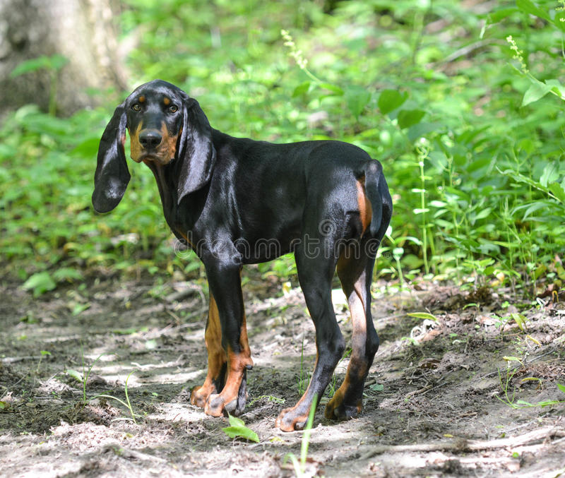 Hunting dog. Black and tan coonhound walking on a trail in the woods stock images